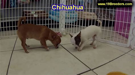 Chihuahua, Puppies, Dogs, For Sale, In Aurora, County