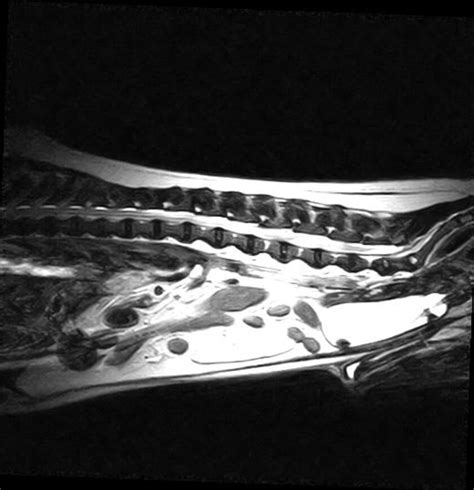 Common complications in canine spinal surgery   Veterinary