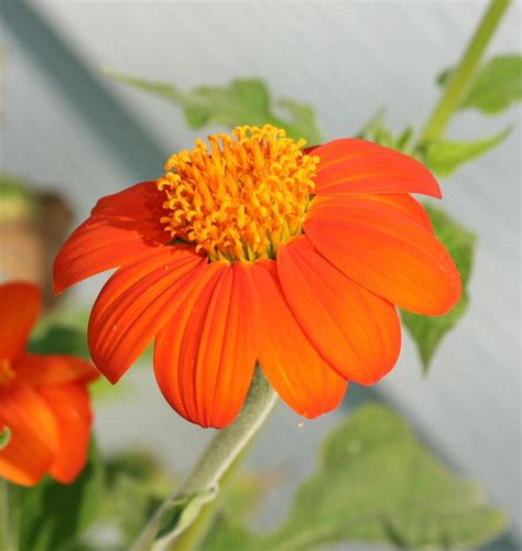 How to Grow Tithonia from Seed – West Coast Seeds