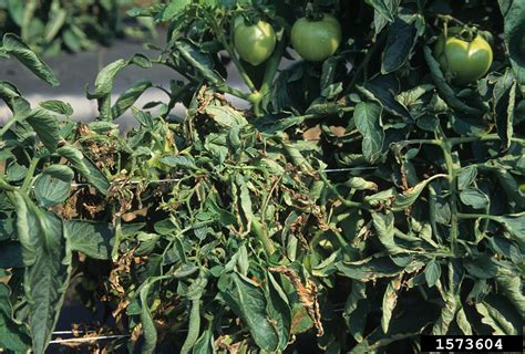 Bacterial Wilt and Canker of Tomato   Minnesota Department