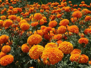 Marigold: Pictures, Flowers, Leaves & Identification
