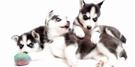 How To Find A Siberian Husky Breeder Near You
