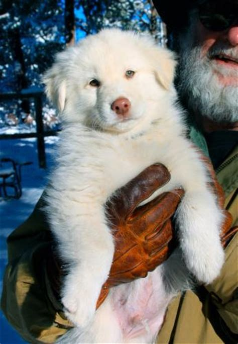 Dog for Sale Goberian | Puppies for Sale Goberian