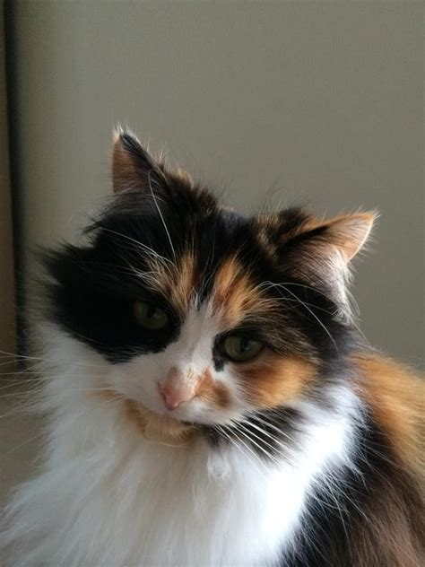 Female, long haired cat looking for a home