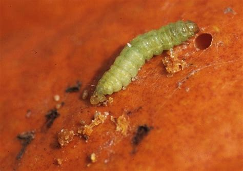 Insect Management on Cucurbit Vegetables in North Carolina