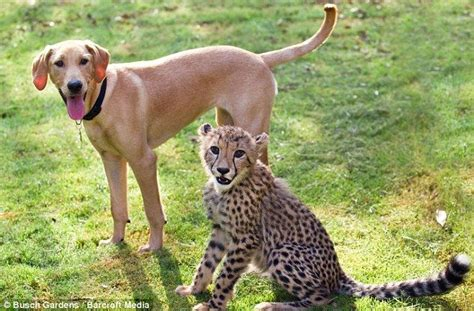Who says cats and dogs don't get along? The cheetah and