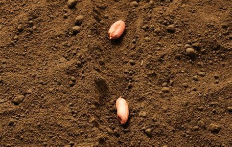 Growing Peanuts Is Actually Really Easy - How to Plant