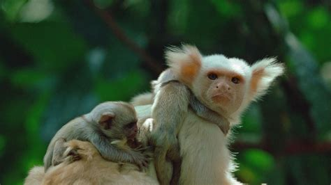 Marmoset monkey Wallpapers Images Photos Pictures Backgrounds