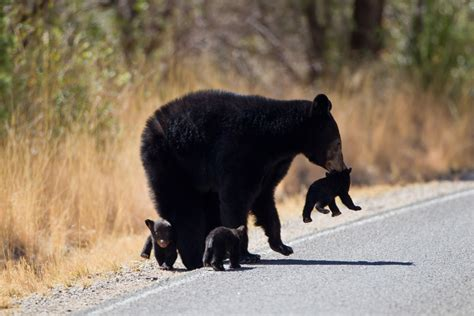 'Observe the posted speed limits': Bear cub at Big Bend