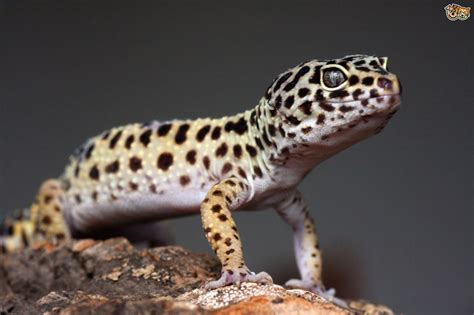 Types of gecko   Pets4Homes