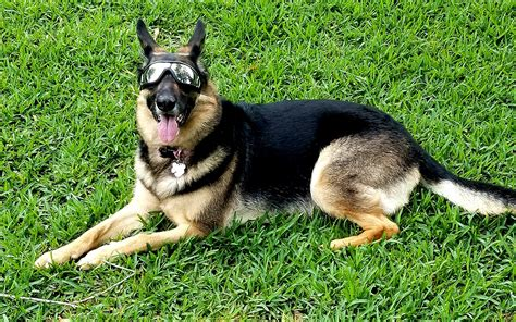 'Doggles' Sunglasses Help Protect Dogs With Pannus From