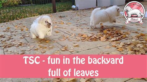 Coton de Tulear puppies in the backyard full of leaves (movie)