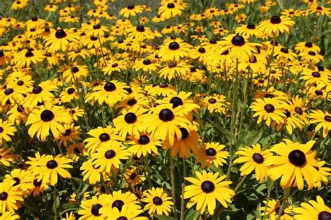 How to Grow and Care for Black Eyed Susan | Happy DIY Home