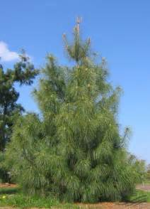 Blue Pine Facts, Distribution, Growth Rate, Uses, Pictures