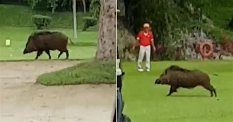 Huge Wild Boar Running Across Changi's Golf Course - The