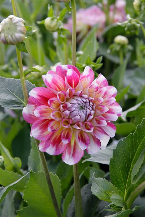 Know Your Dahlias: Flower Styles and Sizes - Longfield Gardens