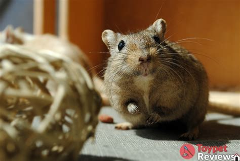 8 Best Chew Toys to Get for Your Hamsters - Toy Pet Reviews